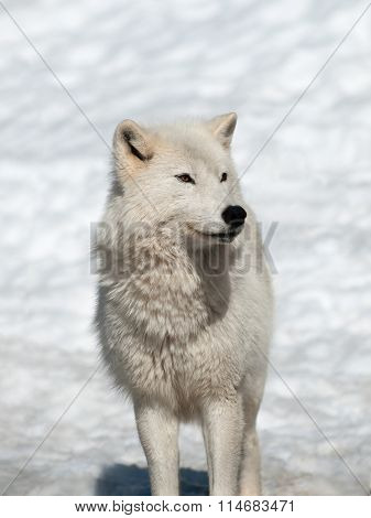 Arctic Wolf In Natural Environment