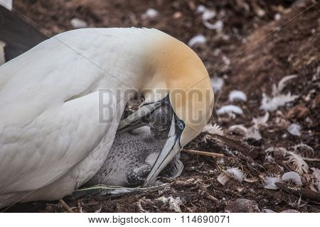 Northern gannet feeding chick