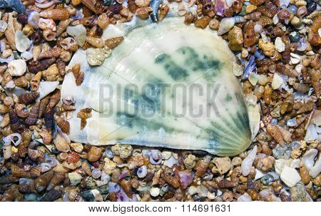 Big white shell on green background smaller small shells. Nautical theme