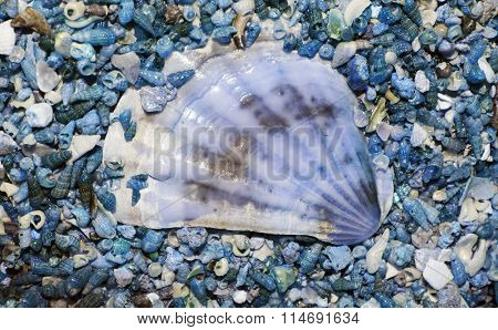 Big white shell on blue background smaller blue small shells. Nautical theme