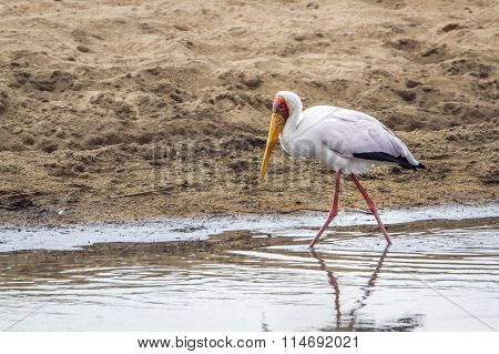 Yellow-billed Stork In Kruger National Park