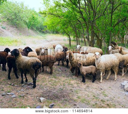 Flock Of Sheep On The Hillside