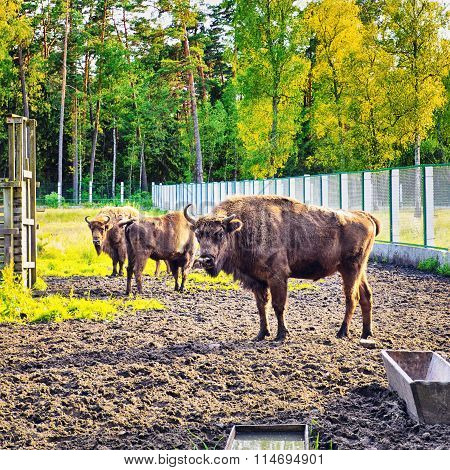 European Bison In Wildlife Sanctuary