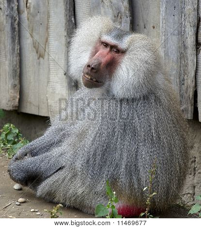 Portrait of Baboon