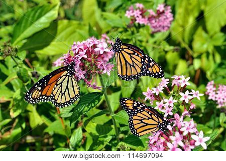 Monarch butterfles Latin name Danaus plexippus