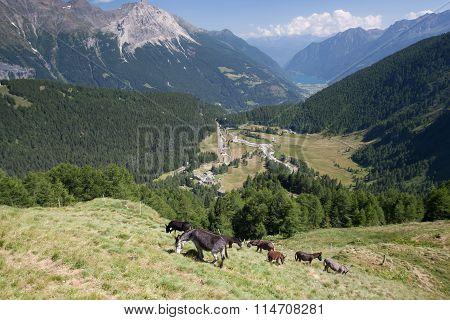 Herd Of Donkeys On Pasture.switzerland