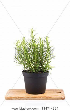 Rosemary Inside A Black Pot