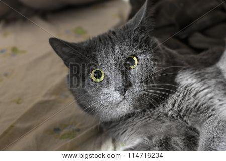Stunned Grey Cat