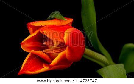 Orange Red Tulip