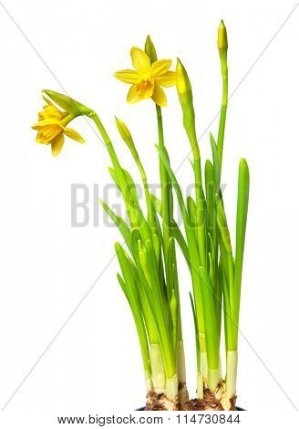 narcissus isolated on white