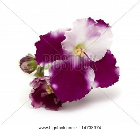 African Violet Isolated
