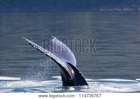 Humpback Whale tail, Juneau, Alaska, USA