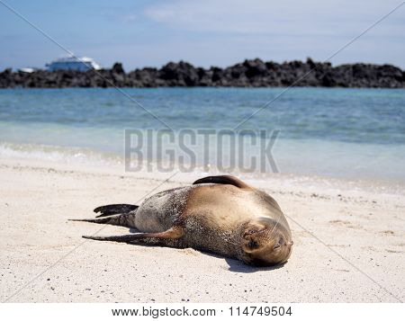 Relaxing sea lion on the beach in the Galapagos