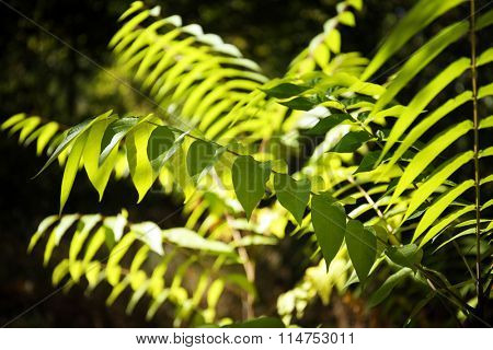 The branches of Ailanthus altissima