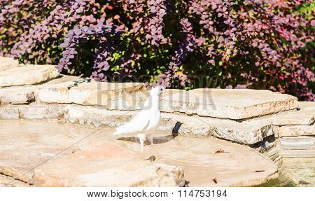 White Dove sitting