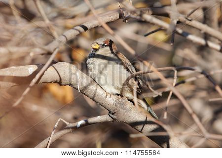 Sparrow Among Branches