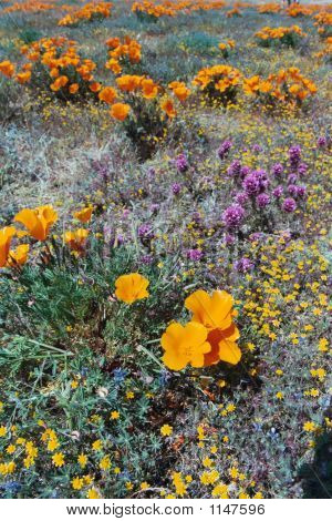 Desert Flowers Poppies