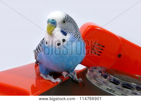 Parrot and telephone