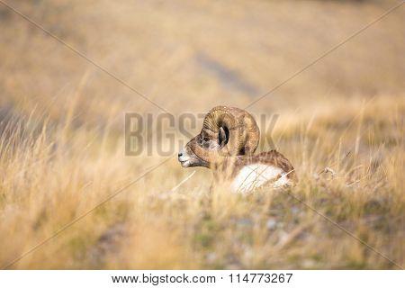Resting Ram