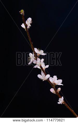 cherry blossom sakura on black