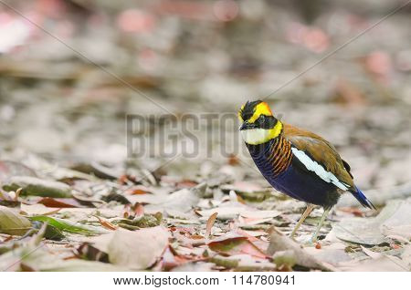 Banded Pitta (male)