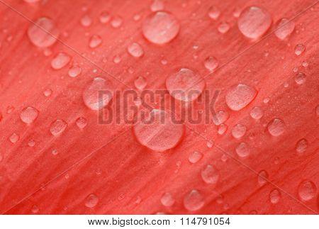 Dew Drops On Petal