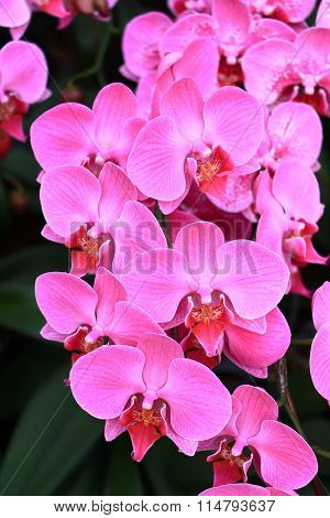 Beautiful pink, magenta orchid flowers branch on nature