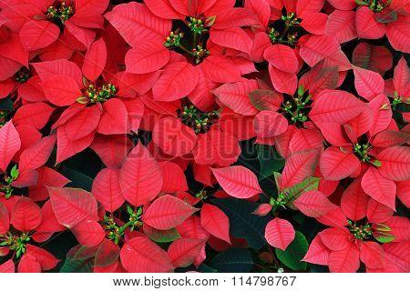 Flores de Noche Buena, red poinsettia on background