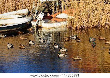 Mallards And Boats