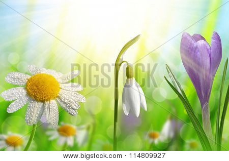 Spring flower Crocus, Daisy and Snowdrop on green natural background
