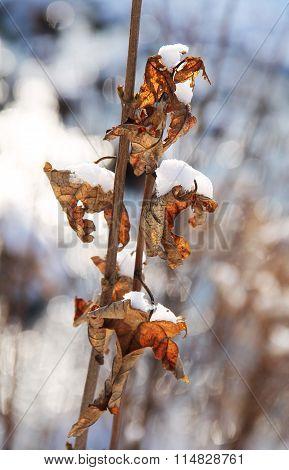 sear leaves in winter