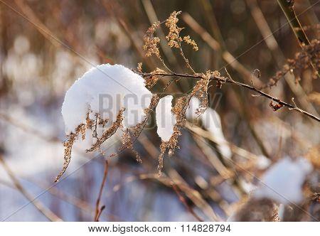 woundwort in winter