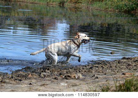 A Hunting Labrador