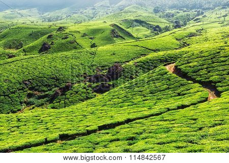 Green tea plantations in hills. Munnar, Kerala, India