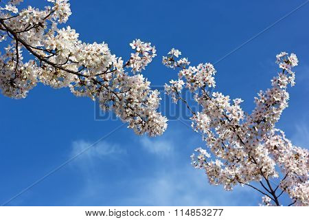 Blooming cherry tree branches against a blue sky.