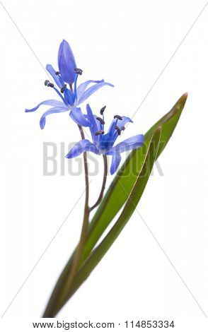 Early spring flower (Siberian Squill) isolated on white background. Shallow DOF