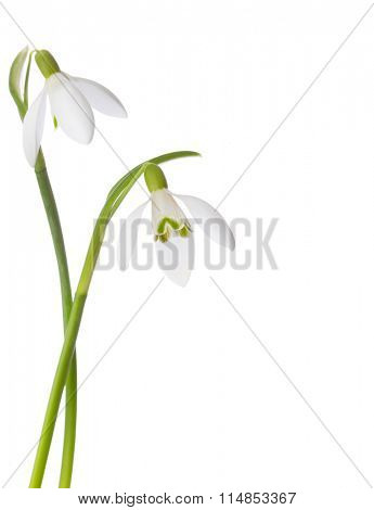 Two snowdrop flowers isolated on white background