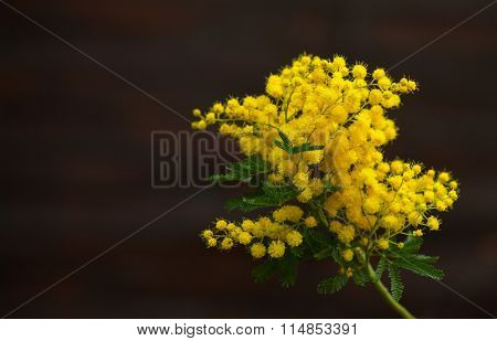 mimosa's yellow spring flowers on the background of old brown wall