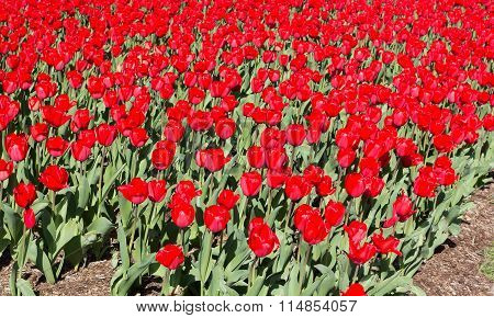 Blooming field of large red tulips.