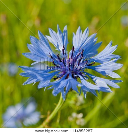 Blue Cornflower In The Sun