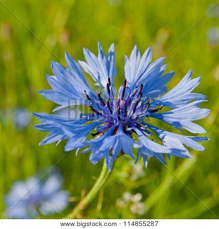 Blue Cornflower In The Sun