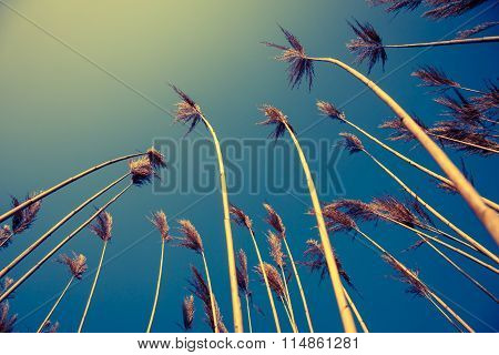 yellow bulrush with blue sky in background