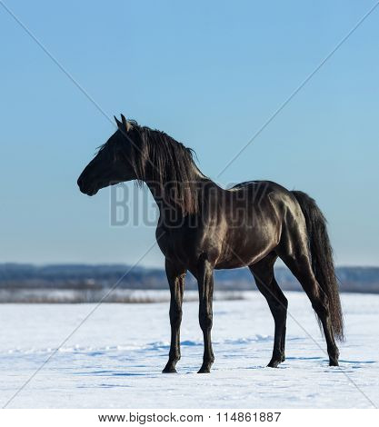 Black Andalusian stallion costs on snow meadow