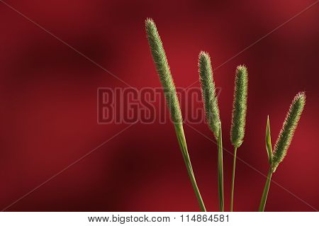 Slender Meadow Foxtail Green Tall Grass Against Red Background Closeup