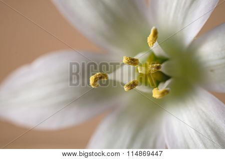 Jerusalem Star Anemone Flower Stamen In Shape Of Triangle Against Beige Background. Selective Focus.