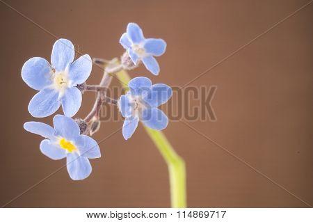 Forget-me-nots Myosotis Blue Petals Against Brown Background