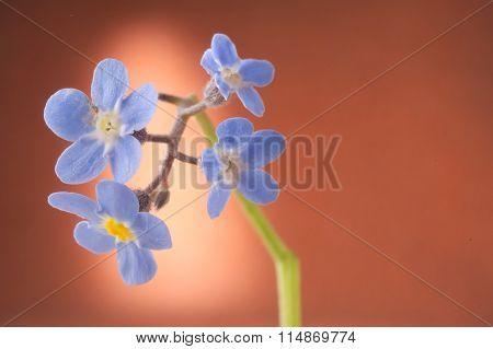 Forget-me-nots Myosotis Blue Petals Against Highlighted Orange Background