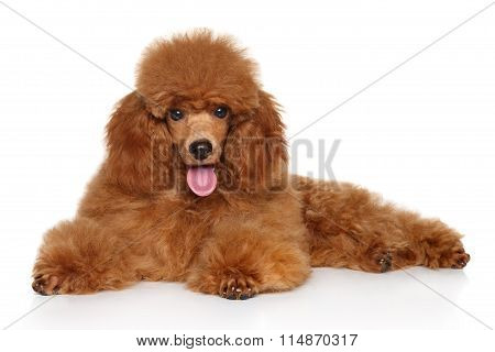 Toy Poodle Puppy On Whiye Background