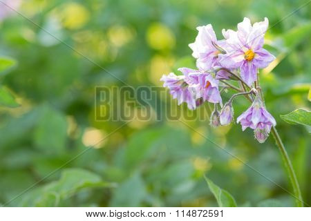 Flowers Of Potato Plant On Green Blurred Background Of Field