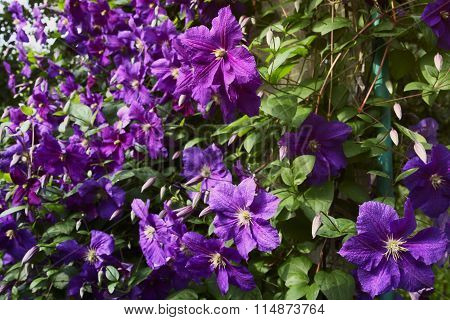 Clematis Purple And Pink